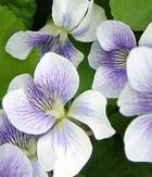 violetspicture21