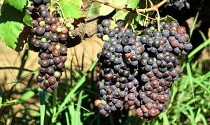 Tinta Negra Mole grapes in Madeira
