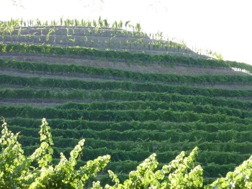 Terraced Vineyard