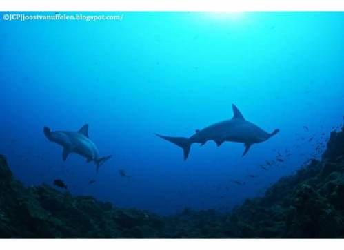 The hammerheads were less shy this trip.